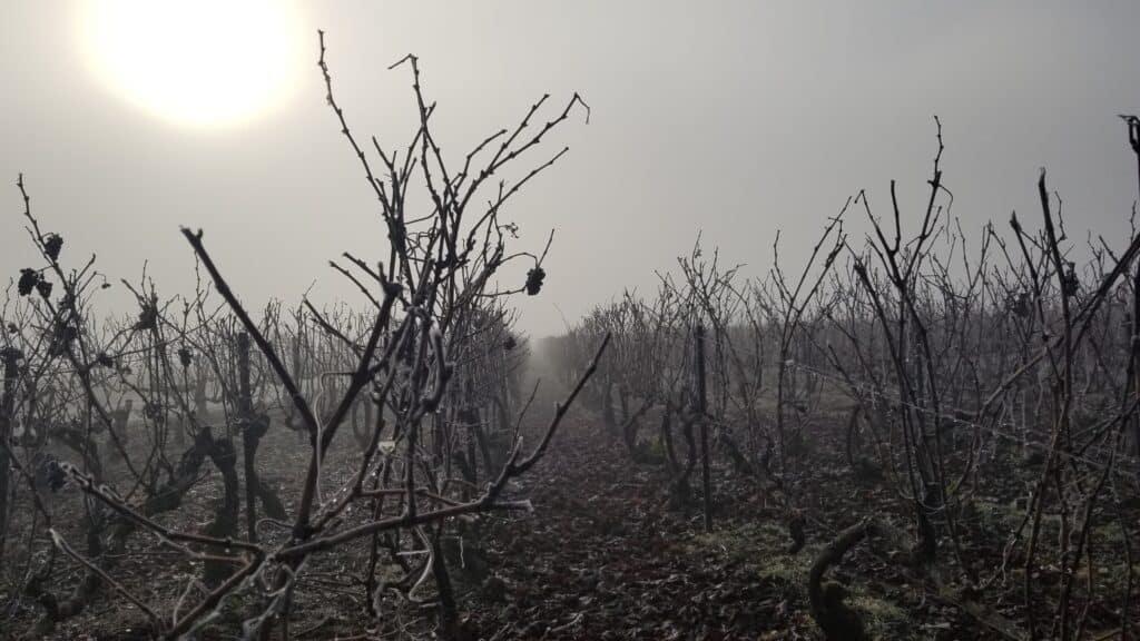 Vignes en hiver Champagne Chauvet