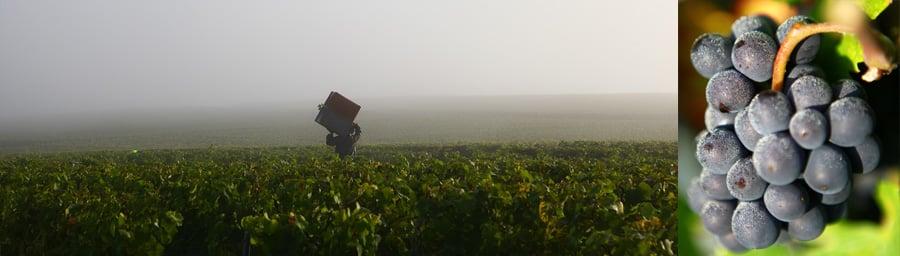 vignes de Champagne Chauvet